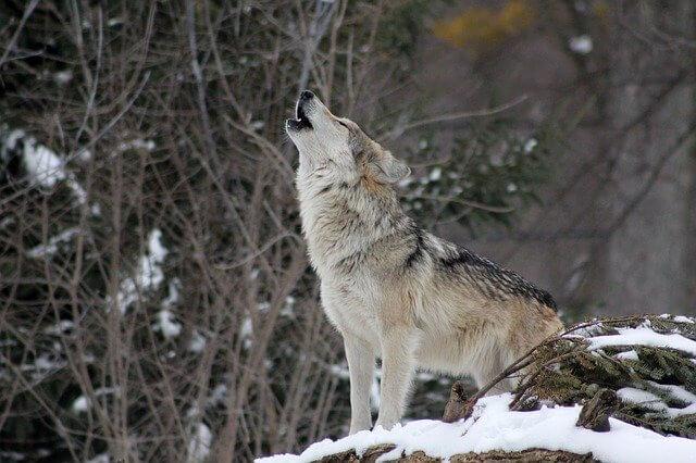 オオカミ画像