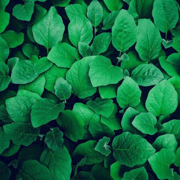 緑色の葉画像