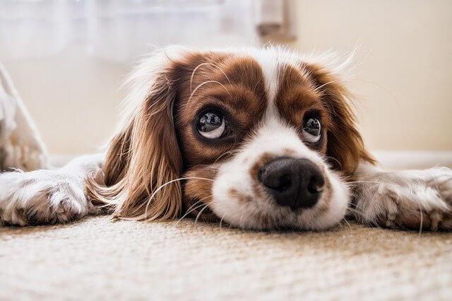 床に興味がない犬の画像