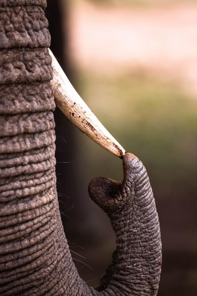ゾウの鼻と牙