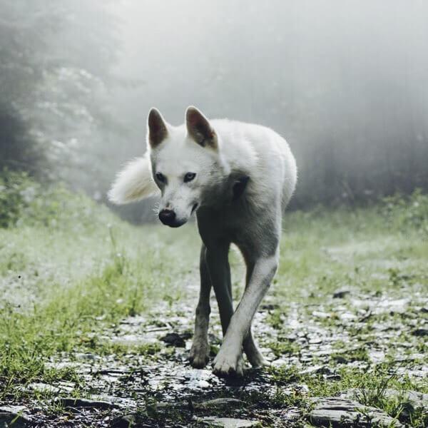 シルバーアッシュ風オオカミ
