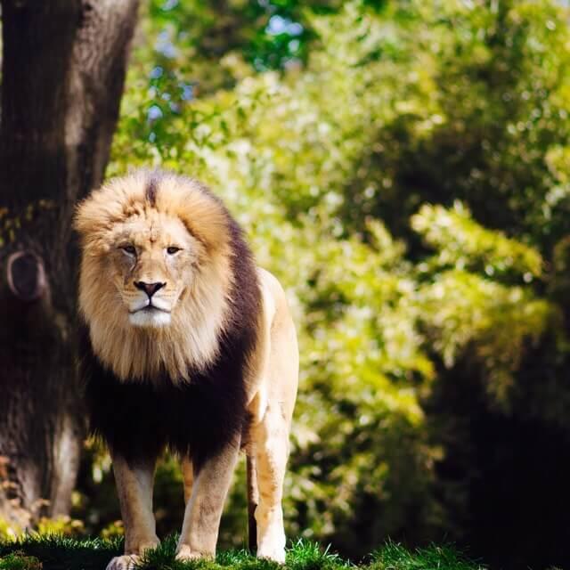 シージなライオン